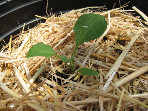 eggplant seeding
