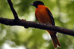 male Baltimore oriole 092