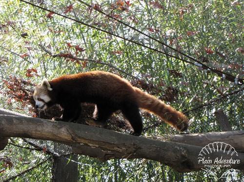 Red Panda Knoxville Zoo watermark