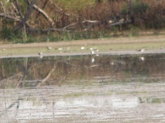 Very blurry greater yellowlegs