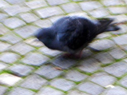 random_pidgeon
