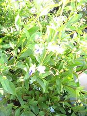 Clerodendron ugandense
