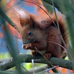 Sweety (Buntekuh) Tags: nature topf25 topf50 squirrel sweet hamburg supershot eurasianredsquirrel mywinners abigfave europischeseichhrnchen impressedbeauty superbmasterpiece adoublefave