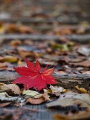 Fall leaf fell (Sherwin_andante) Tags: japan 日本 2007 日光 中禪寺湖 e510 supershot 10faves 200711 200711japanday3