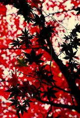Black on Red... (Trapac) Tags: uk autumn trees red england black fall film leaves silhouette maple kodak arboretum cotswolds gloucestershire momiji westonbirt acer blogged nikkor50mmf18 400iso nikonf80 westonbirtarboretum wmh leafveins kodakmax newarboretum bloggedwithlink bloggedinformed gtap310110