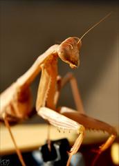 Mantis #3 12-08-2007 [Explore] (BluAlien) Tags: life california wild macro animal closeup fauna bug mantis insect backyard nikon critter wildlife prayingmantis mantid d40 naturescall treeofhonor