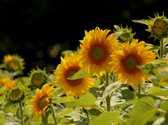 A Field of Sunshine (aussiegall) Tags: flower field leaves petal sunflowers
