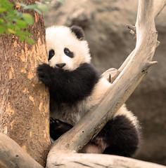 Su Lin's little sister (kjdrill) Tags: china california bear usa baby white black zoo cub panda sandiego bears zhen fv10 zoomzoom yun pandas bai endangeredspecies 100faves zhenzhen fcawinner zhennie 8765a itsazoooutthere