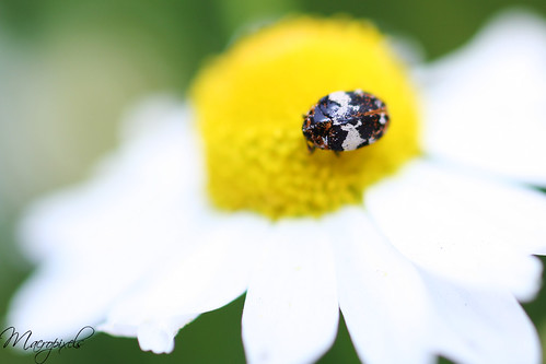 Micro coleoptère