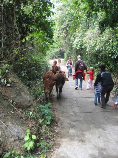 cows_1