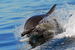 The Joy of Photography (fotolen) Tags: ocean nature animals marine pacific dolphin splash common mammals breach