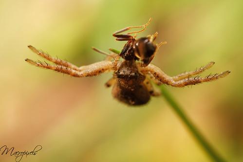thomise eat ant
