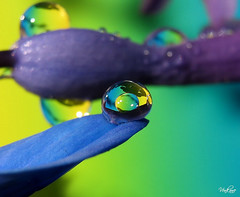 Nevena Uzurov - At the edge (Nevena Uzurov) Tags: light sun flower color macro water droplets drops spring colorful drop petal refraction droplet sremskamitrovica srem  venkane waterdriop nevenauzurov