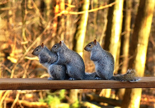 My Three Squirrel Yearlings