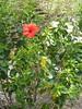 Hibiscus - Peter Island