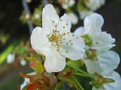 fleurs fin mars (12)