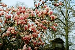 le printemps arrive au luco (zenog) Tags: paris france retrospective jardinduluxembourg lesmagnolias