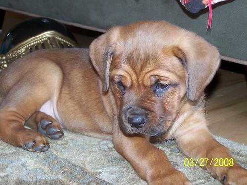 La Roux The Dogue De Bordeaux French Mastiff Rottweiler Mix Puppy