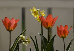 The Power of Love (annemirdl) Tags: window tulips balcony daffodil tulipa narcissus musicinpictures