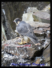 JUVINILE PEREGRINE FALCON (700 MM LENS HAND HELD) (spw6156) Tags: copyright lens woods hand steve falcon mm held 700 nationaltrust falcons raptors waterhouse peregrine plymbridge digitalcameraclub juvinile cannquarry spw6156 stevewaterhouse plymperegrineproject plymbridgeperegrinefalcons copyrightstevewaterhouse