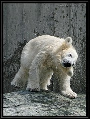 Shake it (omk1) Tags: bear white cute wet water animal zoo cub tiere photo wasser jung foto young polarbear anton polar weiss shaking br corinna eisbr wilhelma nass tierfotos weis animalphotos wilbr bijxing