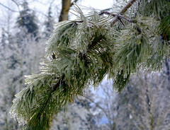 A PINE BRANCH STARTING TO THAW......(SILVER THAW)   MILL LAKE PARK, ABBOTSFORD,  BC. (vermillion$baby) Tags: milllake silverthaw abbotsford branch ice needles pine snow winter cold fraservalley bc trees tree forest beautifulbc