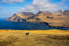 Black Sheep (West Leigh) Tags: faroeislands gjogv blacksheep travel travelphotography earth mountains hike explore experience dream discover wanderlust wander ocean sheep inspire individuality emerson nature naturalbeauty outdoor landscape