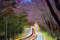 武陵農場~櫻之波浪車軌~  Cherry blossom light trail (Shang-fu Dai) Tags: 台灣 taiwan formosa 台中市 和平區 nikon d800e farm 武陵農場 wulingfarm cherryblossom 櫻花 粉紅櫻花 紅粉佳人 af80200f28d 波浪車軌 小黑三 夜櫻 夜景 車軌 lighttrail nightscene 樹 植物 戶外 花
