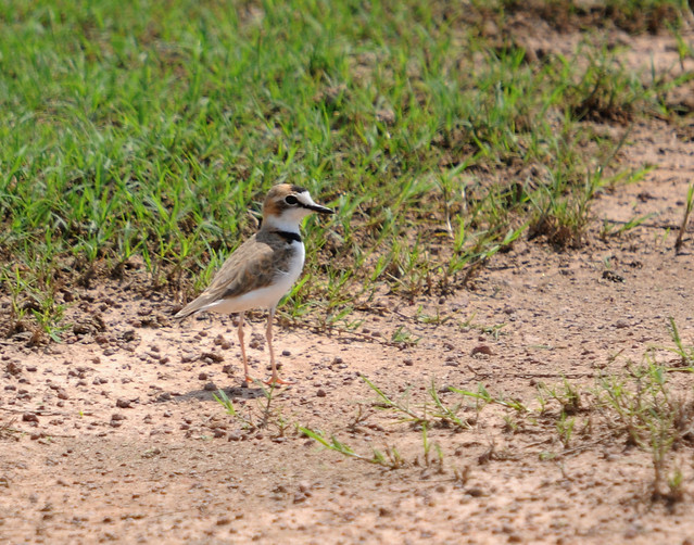 collared plover3