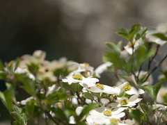 Cornus florida 'Barton' (--ki---) Tags: dc washington arboretum dogwood usna cornus