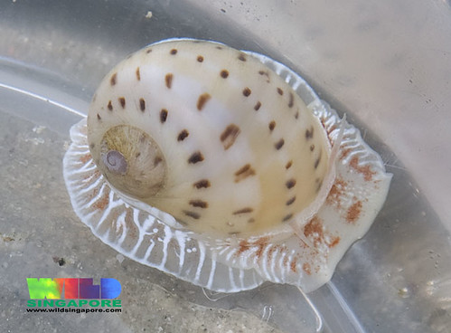 China moon snail (Natica onca)