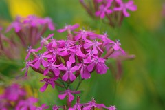 Silene armeria (nobuflickr) Tags: flower nature japan kyoto catchfly thekyotobotanicalgarden silenearmeria    persephonesgarden