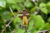 Broad-bodied Chaser (Libellula depressa) (celerycelery) Tags: nature animal dragonfly critter wildlife critters damselfly odonata othercritters