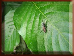 Pretty insect (crabronid wasp) on mussaenda leaf, captured September 25, 2007