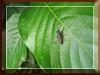 Crabronid Wasp of tribe Larrini