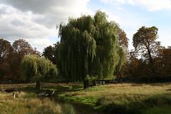 Salix babylonica weeping willow Bushy Park Aug06 GMcE (Gavin McEwan) Tags: weepingwillow salix babylonica