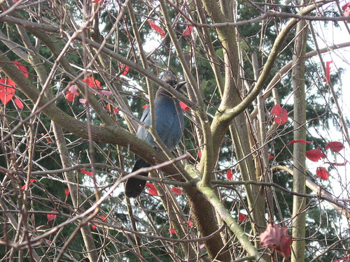Steller's Jay in The Backyard