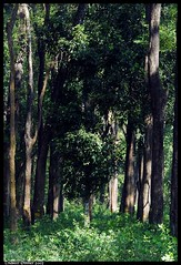 woodland.......... (Naseer Ommer) Tags: wood trees kerala nostalgic southindia thrissur trichur pterocarpus naseerommer veterinarycollegecampus keralaagriculturaluniversity