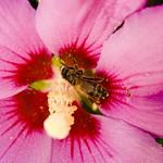 Working Bee on Purple Flower thumbnail