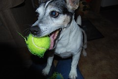 Come on (baianablanca) Tags: dog terrier jackrussell playingcatch