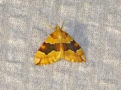 Barred Yellow (Cidaria fulvata) (Ardeola) Tags: moth fjäril nattfjäril barredyellow mätare cidariafulvata citrongulfältmatare