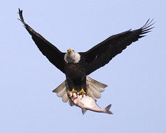 _TEP0007-1Catch of The Day (tperry111(Thom)) Tags: nature birds wildlife eagles conowingo goldstaraward
