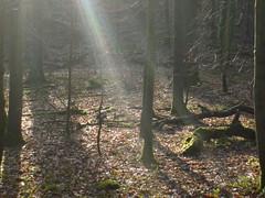 winter woods (dandavie) Tags: sun leaves forest moss woods ivy sunray ashtoncourt