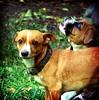 YA REGRESOOOO!!!! (marce_garal) Tags: dog pet brown chihuahua cute green face animal garden lomo sweet boxer care squared tonka hesback chapis