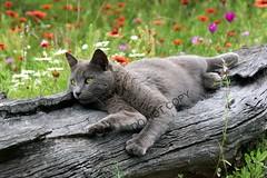 log cat (stagewestphoto) Tags: nature animals cat feline texas mason pussy wildflowers pussycat housecat kittycat notmycat catphoto