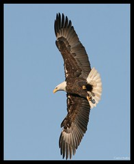 Majestic Flight (Little Laddie) Tags: fish bird nature eagle flight baldeagle talons naturesfinest specanimal avianexcellence