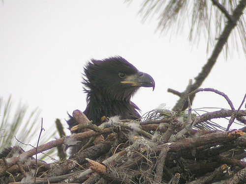 Bald Eagle - chick