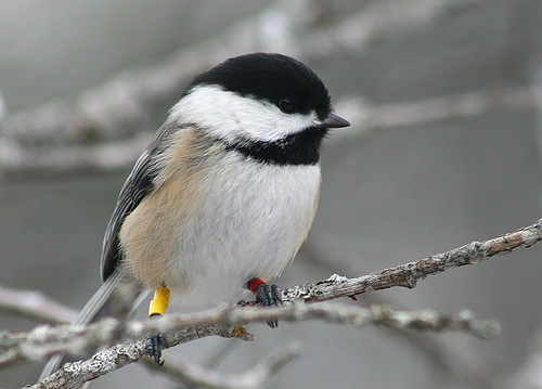 Colour-banded Black-capped Chickadee