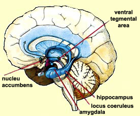 nucleus-accumbens-central-role