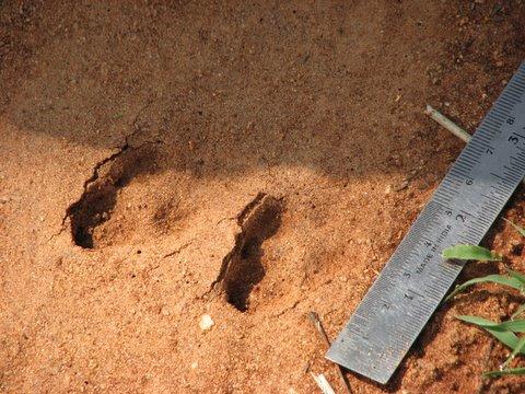 black-naped hare marks devarayanadurga 050408